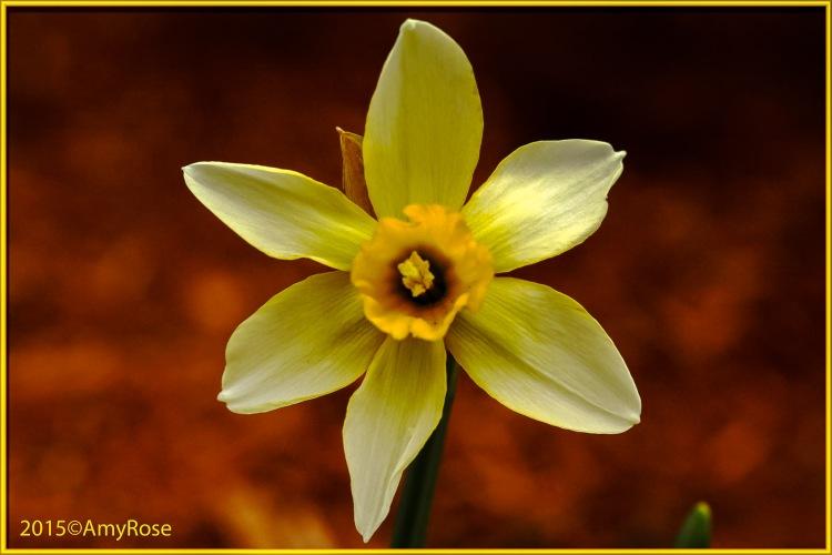 Frist Daffodil
