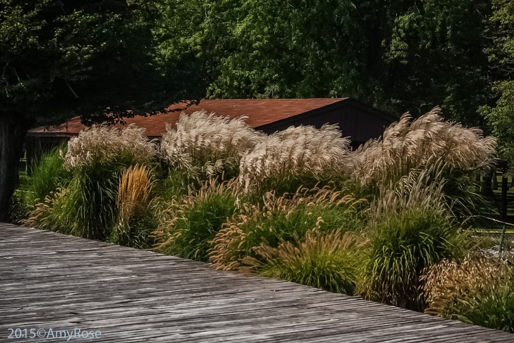 Grasses by the boardwalk