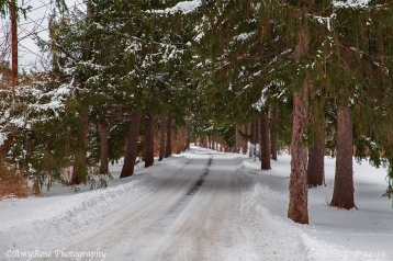 Drive lined with Evergreens