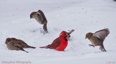 Sparrow on right wants what that Cardinal has!