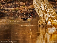 Another male Wood Duck.