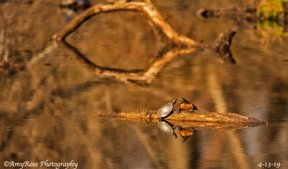Reflections in this picture wayyyyy cool. Here are two turtles hanging out