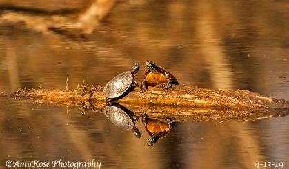 Close-up of the 2 turtles