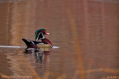 Male Wood Duck in hot pursuit of a female.