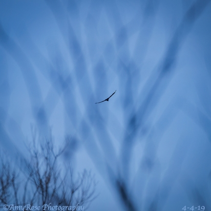 Bald Eagle that flew over Hubby and I as we stood in our driveway. By the time I got my camera, this is what I saw. This is a SIGN Bella made it HOME.