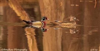 Lovers ... Male and female Wood Duck who came out of hiding for me to be able to take their picture.