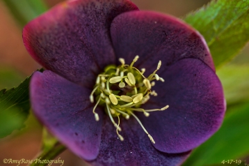 Hellebore .... the pestle design had me staring for so long. WOW!