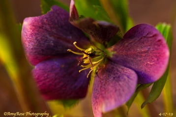 Hellebore ... Heart stopping!