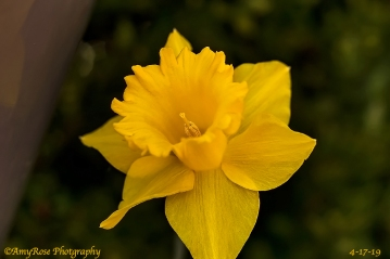 Daffodil!