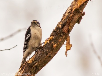 Another view of the Downy Woodpecker