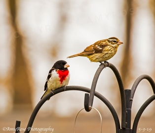 Male and female Rose-breasted Grosbeak