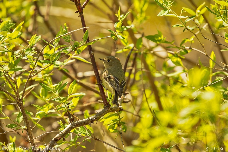 Ruby Crowned Kinglet surrounded by green