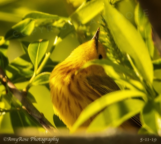 Hey, another Yellow Warbler