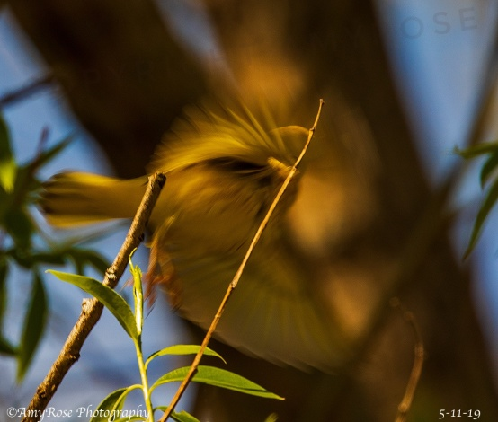 Ya never know what my camera picks up .... Yellow Warbler leaping off a branch.