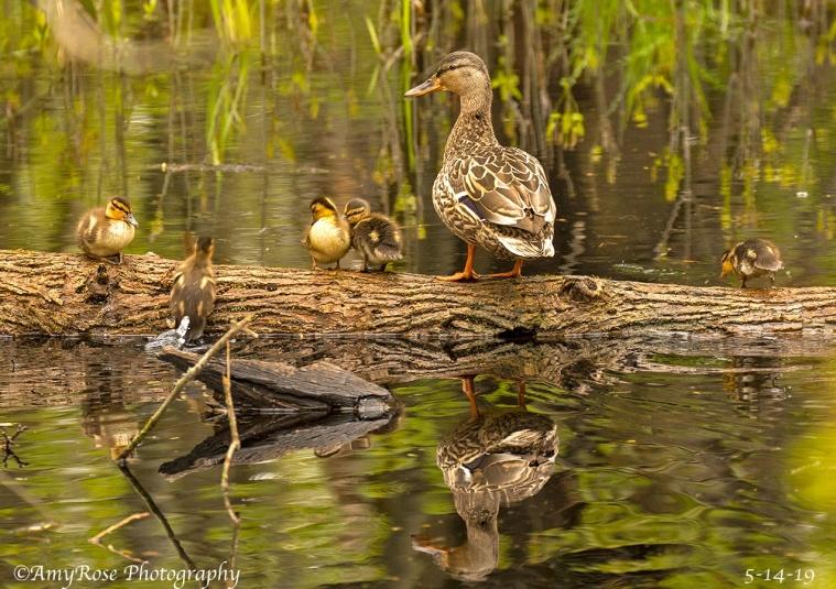 Female Mallard Duck with babies ... ohhhhhhh .....