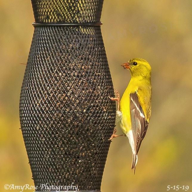 American Goldfinch on new feeder at my feeding station.