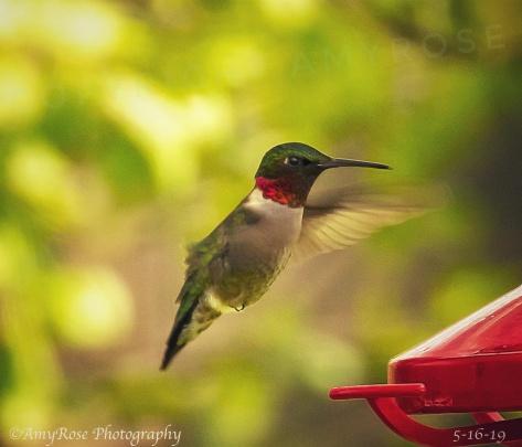 Red-Throated Hummingbird in backyard
