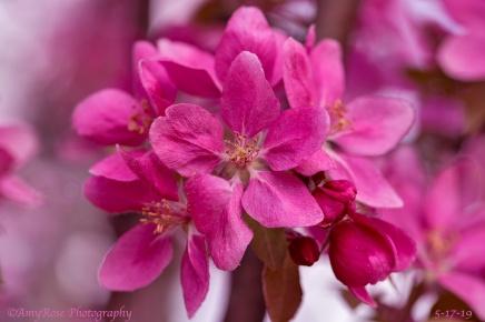 Crabapple Tree flower.