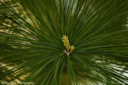 New growth on Eastern Pine