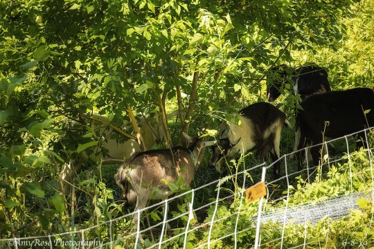 This picture and the next were taken when the goats just were led into phase 2 of this project. The vegetation is so thick you can barely see the goats.