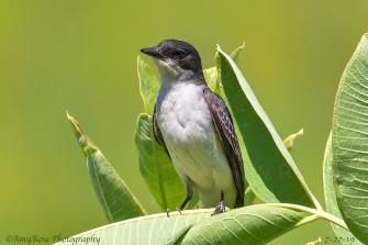 Barn swallow posing delightfully for me.