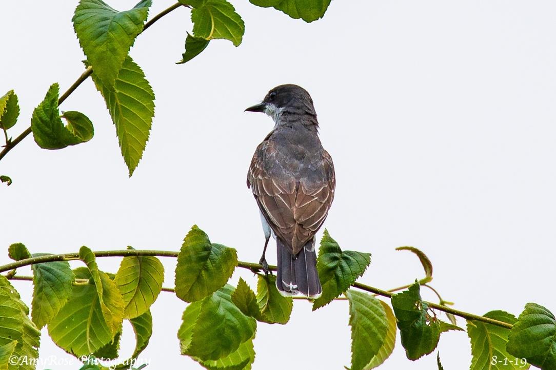 Kingbird ID'ed by John