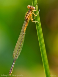 Damselfly ID'ed by Timothy