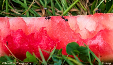 I just had to get a shot of these ants on this piece of discarded watermelon