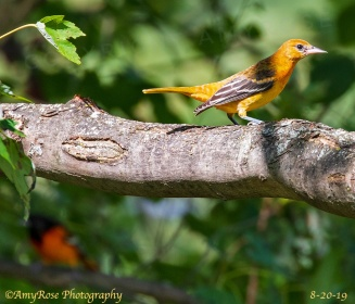 Female Baltimore Oriole. Do you see the male Oriole in the background?