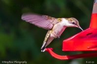 Beautiful!! Female Ruby-throated Hummingbird.