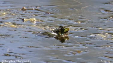 "VERY cropped. This bullfrog was but a small ""dot"" in a big pond."