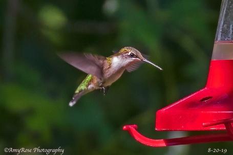 Imagine that! I got a Hummer in flight! Female Ruby-throated Hummingbird.