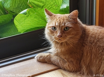 Rusty 8-year old male orange tabby who is the baby of the family. This guy is the major attention getter and can be a handful.