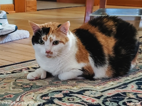 """Meaghan 13-year old calico who has retained the most """"wild"""" qualities of all of our cats. Just lately Meaghan is finally coming out more from always being alone."""