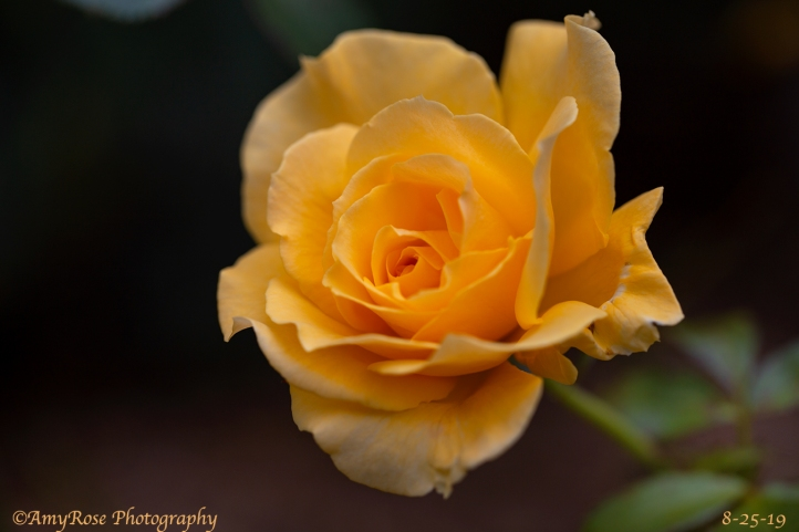 Camera calibration to enrich the yellow rose and radial filter on the leaves under rose to lighten them.