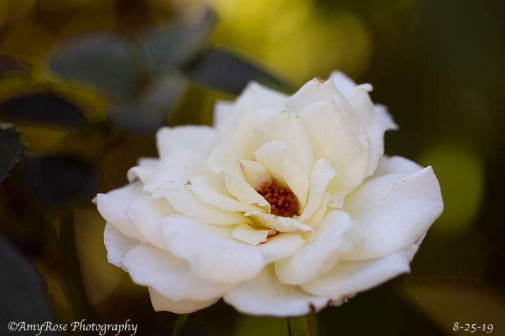 Camera calibration to make this white rose pop and radial filter on leaves that look lighter then the other leaves.