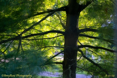 Camera calibration to enrich all colors and radial filter to darken the main trunk of tree and pop the yellow and greens in sunlight.