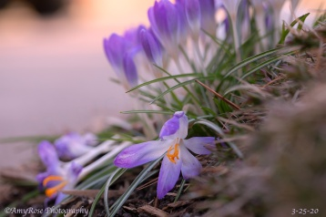 Light purple Crocuses gently succumbing to the end of their purpose.