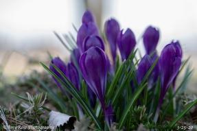 Deep purple Crocuses.